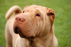 Traditional apricot  sharpei portrait Royalty Free Stock Photo
