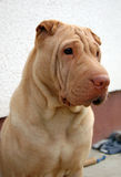 Traditional apricot  sharpei portrait Stock Image