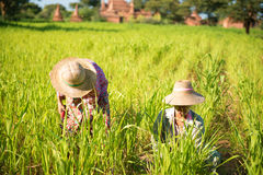 Traditional Asian farmers working Royalty Free Stock Photography