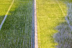 Traditional asian green rice fields. Closeup image