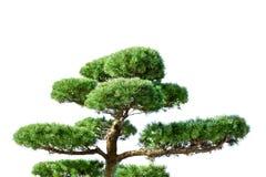 Traditional asian Japanese green coniferous bansai tree isolted on white. Nature, plant, garden, leaf, beautiful, botany, small, gardening, background, bonsai royalty free stock photo