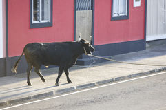 Traditional azores bullfighting feast in Terceira. Portugal. Tou Stock Photos