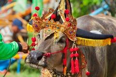 Traditional Balinese water buffalo races Makepung in Negara Stock Photo