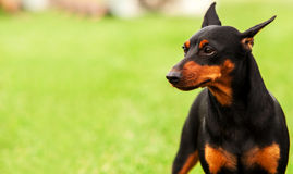 Traditional Black and Tan / Rust  Doberman Pinscher portrait Royalty Free Stock Photography