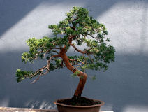 Traditional bonsai Royalty Free Stock Photography