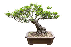 Traditional bonsai tree royalty free stock images