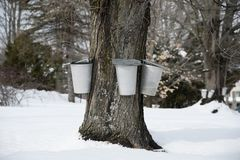 Traditional Buckets Collect Sap From Maple Tree in Early Spring stock images