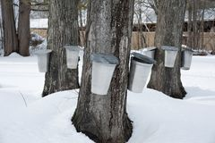 Traditional Buckets Collect Sap from Maple Trees to Make Syrup. Traditional buckets are used to collect sap from maple trees by tapping the trees during early royalty free stock image