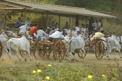 Traditional Bullock Cart Race Royalty Free Stock Photo