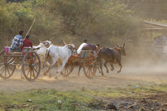 Traditional Bullock Cart Race Royalty Free Stock Photography
