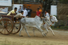 Traditional Bullock Cart Race Royalty Free Stock Images