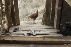 A Chicken stands outside a traditional wooden Burmese house. Traditional Burmese wooden house entrance, with flip-A reddish chicken stands looking at camera at royalty free stock photos