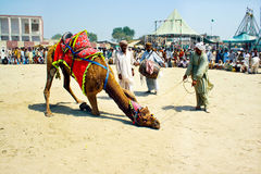 Traditional camel dance. A camel festival is held in Sahiwal Pakistan every year, where people come with there camels from all over the Pakistan, they make Royalty Free Stock Images