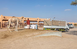 Traditional Camel Market in Al Ain in the UAE. AL AIN, UAE, DECEMBER 2009: Camel Market in Al Ain. December 01, 2009 Stock Image