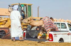 Traditional Camel Market in Al Ain in the UAE Stock Image