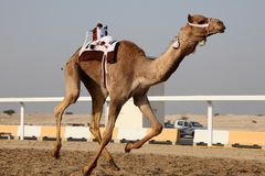 Traditional camel race in Doha Royalty Free Stock Photo