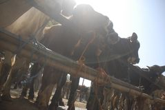 TRADITIONAL CATTLE MARKET Stock Photo