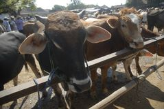TRADITIONAL CATTLE MARKET Stock Photography