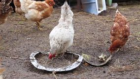 Traditional chicken growing in a natural environment, chicken feeding stock video