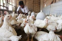 Traditional chicken market Stock Images