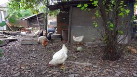 Chickens and in poultry yard on sunny day. Traditional Chickens and in poultry yard on sunny day stock photography
