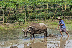Traditional Chinese framer using an ox to plow a field for plant Royalty Free Stock Photography