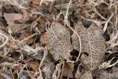 Traditional Chinese medicine Anoectochilus roxburghii. The Anoectochilus formosanus has swelling detoxification, lungs and cough medicinal value Stock Images