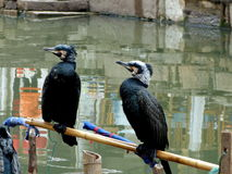 Traditional cormorant fishing,Shanghai Stock Photo