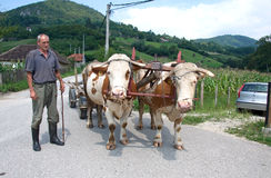 Traditional country carts with cows, Serbia Stock Photography