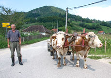 Traditional country carts with cows, Serbia Royalty Free Stock Image