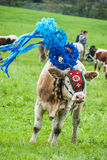 Traditional cow ceremony Royalty Free Stock Photography