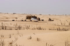 Traditional desert nomad straw dwelling with goats nearby. Traditional Sahara desert nomad straw dwelling with goats nearby.  In Tunisia Stock Image