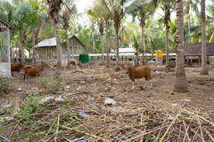 Traditional domestic cattle, Indonesia Stock Photo