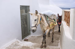 Traditional donkeys on old stone stairs of Oia village in Santor Stock Image