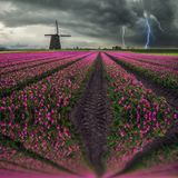 Traditional Dutch Field of Tulips stock photos
