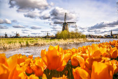 Traditional Dutch windmill with tulips in Zaanse Schans, Amsterdam area, Holland