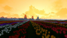 Traditional Dutch windmills with vibrant tulips in the foreground, morning mist, panning stock video