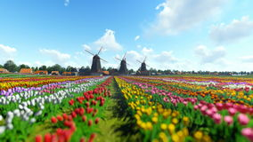 Traditional Dutch windmills with vibrant tulips in the foreground over blue sky, panning stock footage