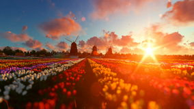 Traditional Dutch windmills with vibrant tulips in the foreground over sunset, panning stock footage