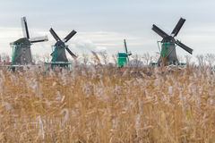 Traditional Dutch windmills and wetland dry reed seed heads waving on wind Royalty Free Stock Photography