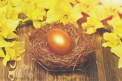 Traditional easter golden egg in nest, spring yellow narcissus flower stock photo