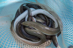 The traditional eel festival in Comacchio Italy Royalty Free Stock Photo