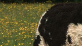 Cows in a field of flowers resting on the ground. Traditional English countryside with cows in a field stock footage