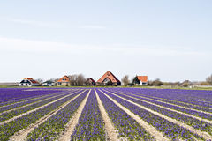 Traditional farmhouses in Holland Stock Images