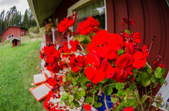 Traditional finnish cottage with flowers Royalty Free Stock Photos
