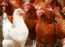 Traditional free range poultry farming.  Royalty Free Stock Images