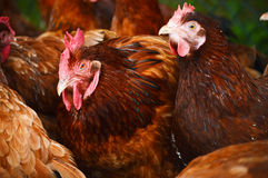 Traditional free range poultry farming Stock Image