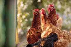 Traditional free range poultry farming. Free range yard poultry farming, in Poland royalty free stock photos