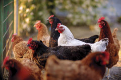 Traditional free range poultry farming. Free range yard poultry farming, in Poland royalty free stock images