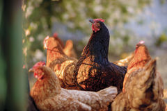 Traditional free range poultry farming. Free range yard poultry farming, in Poland stock images